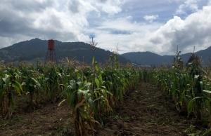 guatemalacornsmall