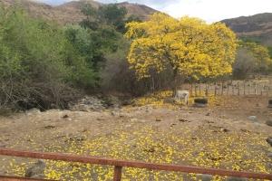 yellowtreecowsmall